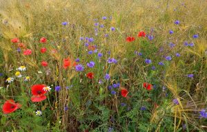 Kornblumen Mohnblumen Weizen Weizenfeld Brodowin Biosphäre